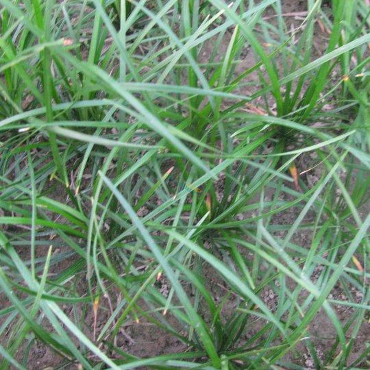 批发细叶绿化麦冬草