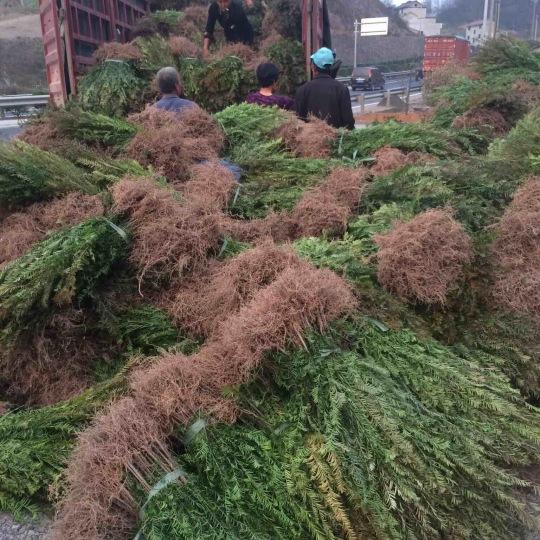 曼地亚红豆杉三年苗特价处理