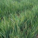 浙江黄菖蒲|水生植物提供
