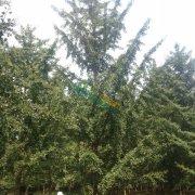 胸径27公分银杏树