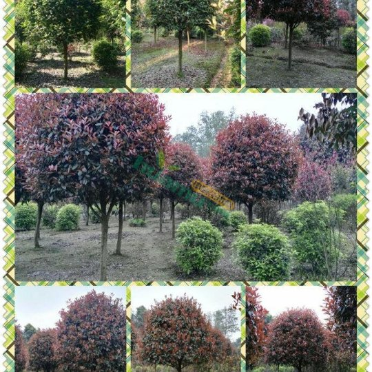 高杆红叶石楠树