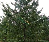 29公分银杏树