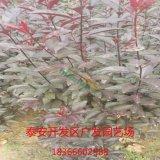 3-10公分紫叶李基地直供