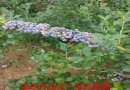1-5公分蓝莓苗基地直供,蓝莓价格