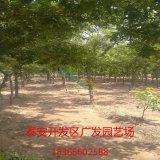 基地直供皂角苗|皂角树|皂角价格