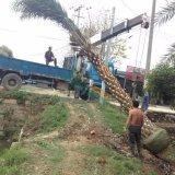 杆高3米-3.5米中东海枣