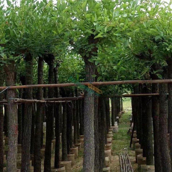 15公分鸡冠刺桐袋苗