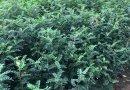 鸡冠刺桐10-15公分批发13599656861