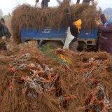 批发供应山东青岛葡萄苗品种齐全早熟新品种 批发价格