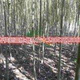 供应新疆杨苗木
