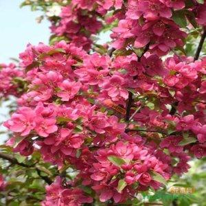 北美海棠 品种齐全