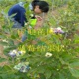 蓝莓苗结果状