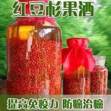 供應紅豆杉種子