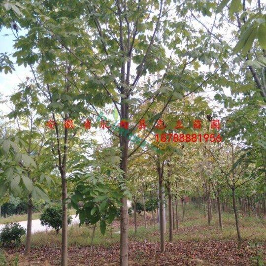 肥西大型七叶树基地 规格8-15cm精品处理