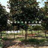 肥西8-20大量精品广玉兰2-15cm处理