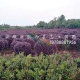肥西最大的红花继木球 规格其价格低