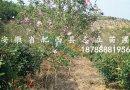 木槿冠100-200  大量出售