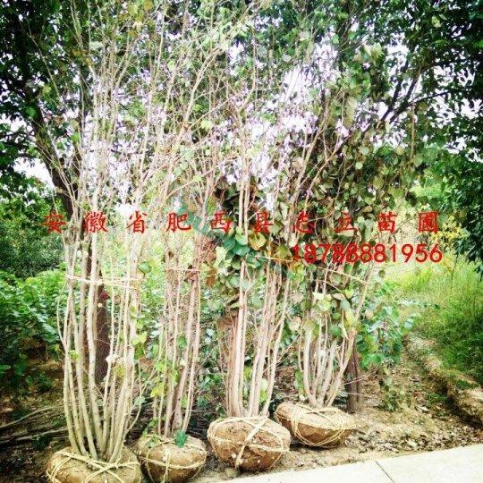 肥西大量紫荊冠100-200低價
