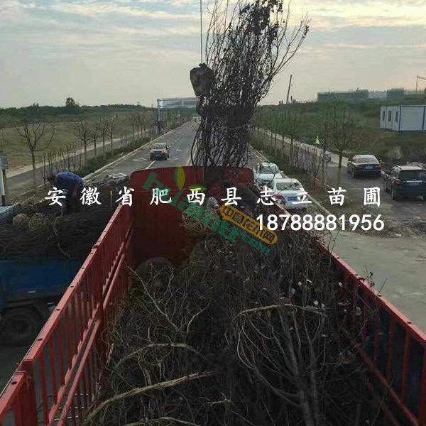 紫叶李8-15cn大量出售
