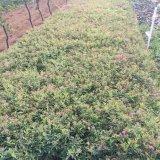 日本绣线菊
