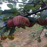 红梨树苗 品种齐全 汁细水多 香甜可口