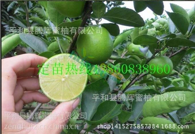台湾无籽青柠檬苗 四季青柠檬苗 柠檬苗 四季青柠檬果树苗