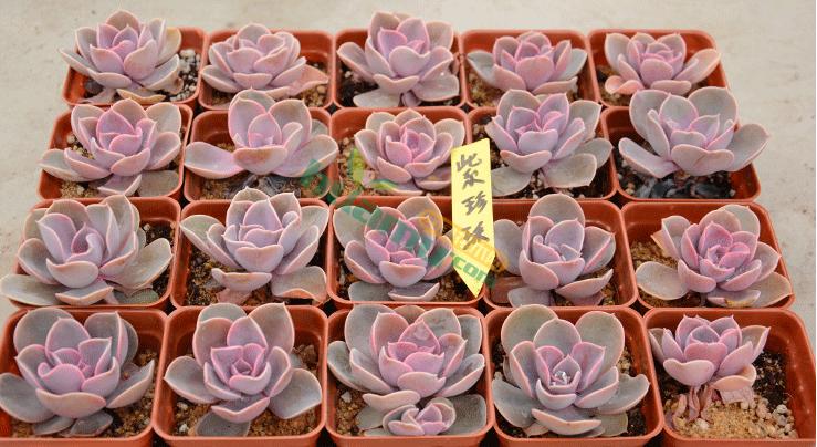 紫珍珠紅心蓮