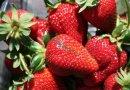 大棚甜查理草莓苗