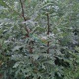山东皂角树苗基地 专业种植大 小 皂角苗