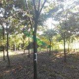 14公分红榉树