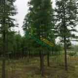 11公分池杉