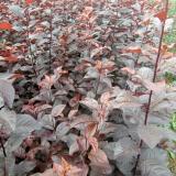 紫叶矮樱扞插苗,营养杯苗
