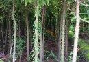 3公分落羽杉