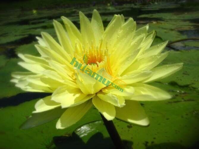 香水莲 水生植物