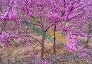 洋紫荆φ5-15公分批发13599656861
