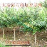 山东石榴树