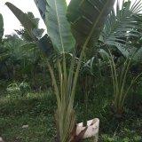2米3米4.5米高旅人蕉