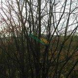 丛生茶条槭