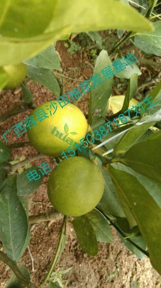 北京青柠檬