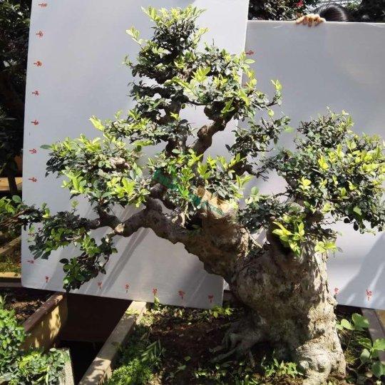 精品老桩榆树盆景