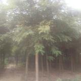 6-12公分刺槐