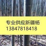 供应新疆杨1-25公分