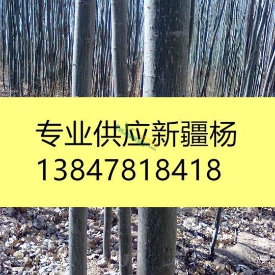 供應新疆楊1-25公分