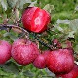 红肉苹果批发 嫁接苗成苗批发种植基地