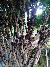 5公分树葡萄