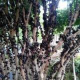 5公分樹葡萄