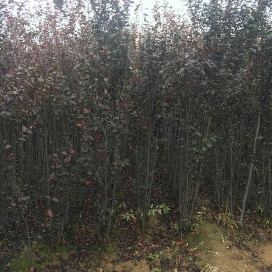 大量供應紫葉矮櫻扦插苗,