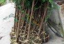 红豆杉4公分
