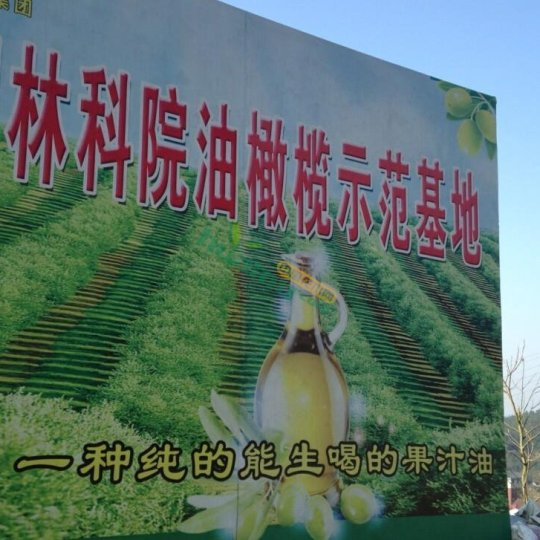 油橄榄种苗