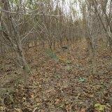 泰山红石榴树